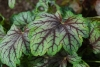 Alunrot Green Spice