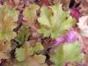 Alunrot Marmelade
